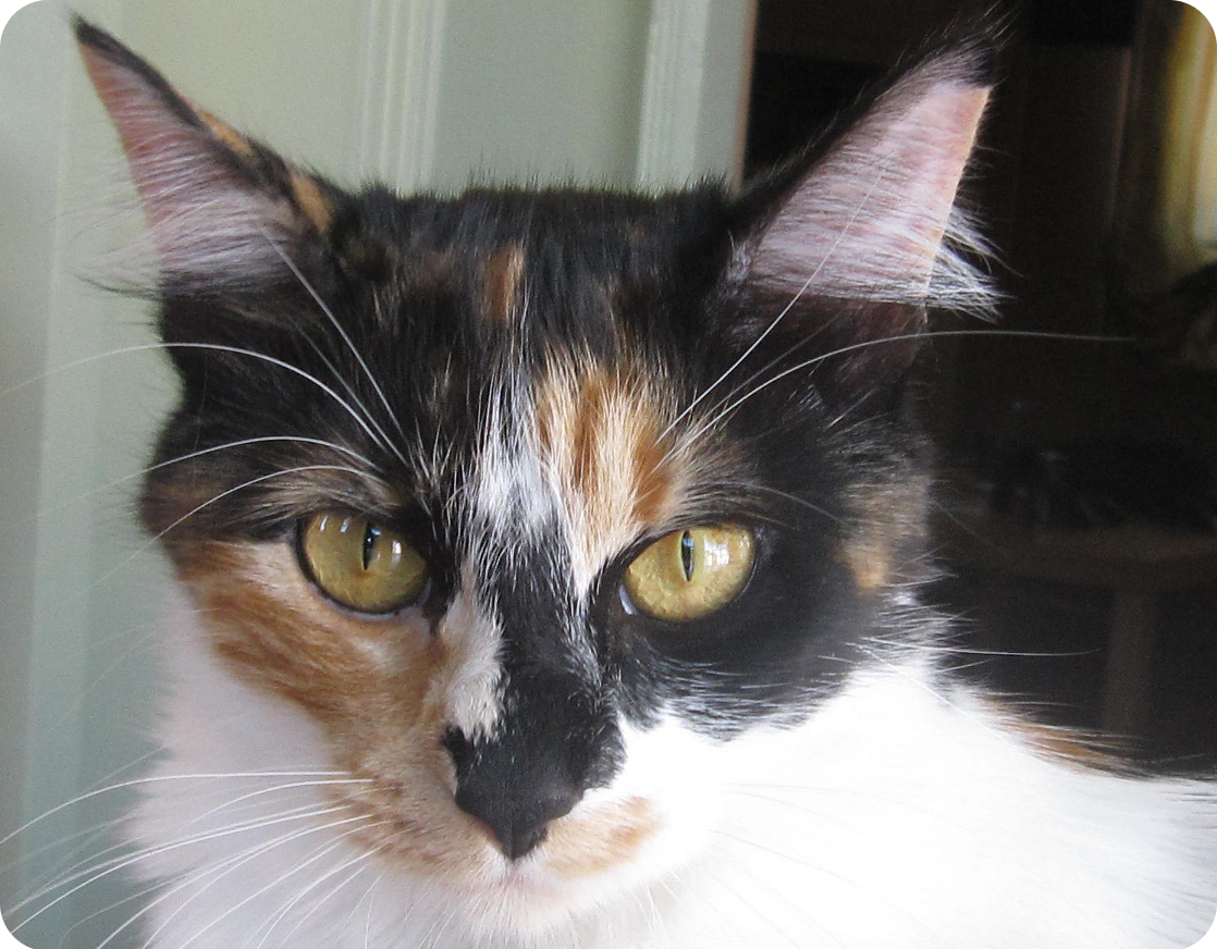 Do Calico Cats Get Along With Other Calico Cats